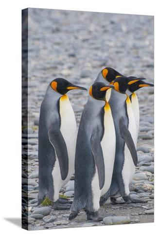South Georgia. King Penguins Walking on the Beach-Inger Hogstrom-Stretched Canvas Print