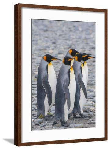 South Georgia. King Penguins Walking on the Beach-Inger Hogstrom-Framed Art Print