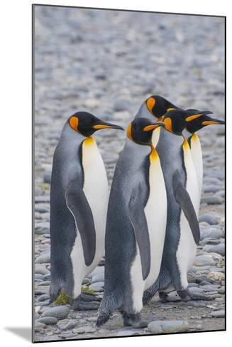 South Georgia. King Penguins Walking on the Beach-Inger Hogstrom-Mounted Photographic Print