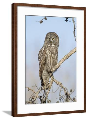 USA, Wyoming, Portrait of Great Gray Owl on Branch-Elizabeth Boehm-Framed Art Print