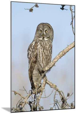 USA, Wyoming, Portrait of Great Gray Owl on Branch-Elizabeth Boehm-Mounted Photographic Print