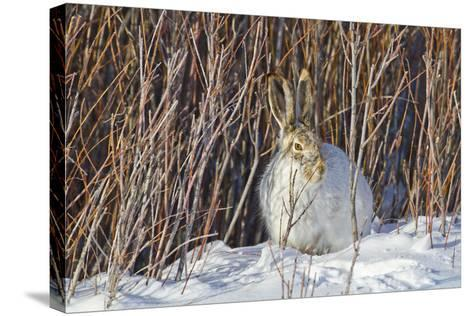 USA, Wyoming, White Tailed Jackrabbit Sitting on Snow in Willows-Elizabeth Boehm-Stretched Canvas Print