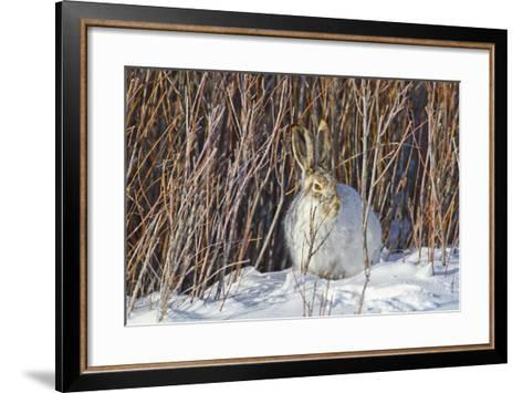 USA, Wyoming, White Tailed Jackrabbit Sitting on Snow in Willows-Elizabeth Boehm-Framed Art Print