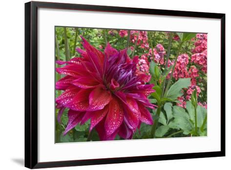 Oregon, Portland. Babylon Purple Dahlia and Pink Phlox with Droplets-Jaynes Gallery-Framed Art Print