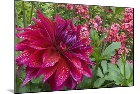 Oregon, Portland. Babylon Purple Dahlia and Pink Phlox with Droplets-Jaynes Gallery-Mounted Photographic Print