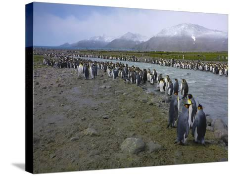South Georgia. Saint Andrews. King Penguin and a Fast Moving Stream-Inger Hogstrom-Stretched Canvas Print