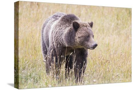 USA, Wyoming, Yellowstone National Park, Grizzly Bear Standing in Autumn Grasses-Elizabeth Boehm-Stretched Canvas Print