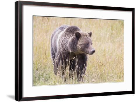 USA, Wyoming, Yellowstone National Park, Grizzly Bear Standing in Autumn Grasses-Elizabeth Boehm-Framed Art Print