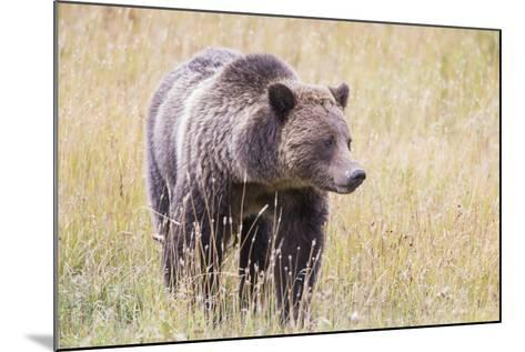USA, Wyoming, Yellowstone National Park, Grizzly Bear Standing in Autumn Grasses-Elizabeth Boehm-Mounted Photographic Print