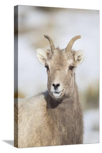 Wyoming, National Elk Refuge, Bighorn Sheep Ewe Portrait-Elizabeth Boehm-Stretched Canvas Print
