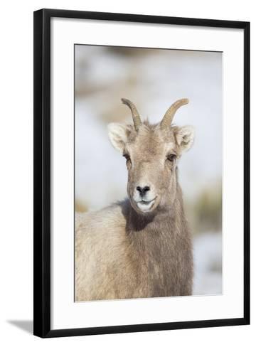 Wyoming, National Elk Refuge, Bighorn Sheep Ewe Portrait-Elizabeth Boehm-Framed Art Print