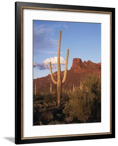 Organ Pipe Cactus Nm, Saguaro Cacti in the Ajo Mountains-Christopher Talbot Frank-Framed Art Print