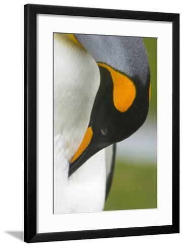 South Georgia. Saint Andrews. King Penguin, Aptenodytes Patagonicus-Inger Hogstrom-Framed Art Print