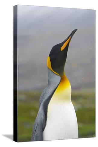 South Georgia. Saint Andrews. King Penguin, Aptenodytes Patagonicus-Inger Hogstrom-Stretched Canvas Print