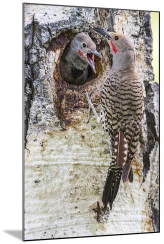 Wyoming, Northern Flicker Feeding Chick at Cavity Nest in Aspen Tree-Elizabeth Boehm-Mounted Photographic Print