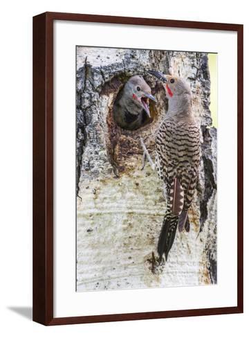 Wyoming, Northern Flicker Feeding Chick at Cavity Nest in Aspen Tree-Elizabeth Boehm-Framed Art Print