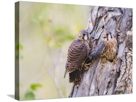 Wyoming, Sublette County, American Kestrels Fledging Nest-Elizabeth Boehm-Stretched Canvas Print