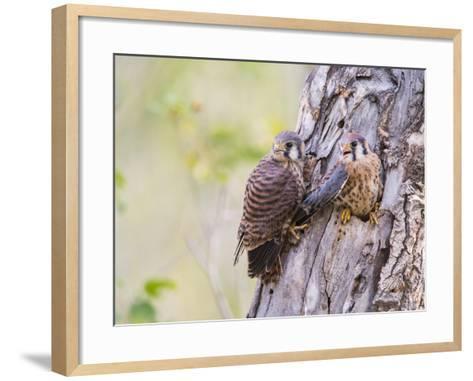 Wyoming, Sublette County, American Kestrels Fledging Nest-Elizabeth Boehm-Framed Art Print