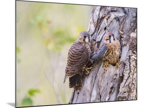 Wyoming, Sublette County, American Kestrels Fledging Nest-Elizabeth Boehm-Mounted Photographic Print