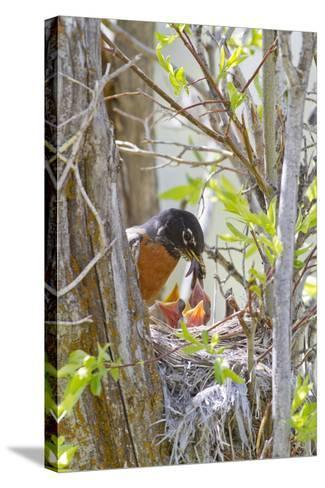 Wyoming, Sublette County, American Robin Feeding Nestlings Worms-Elizabeth Boehm-Stretched Canvas Print