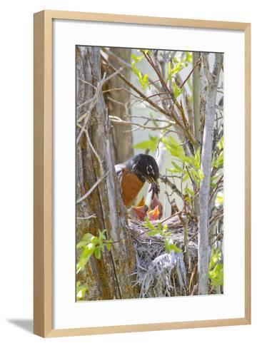 Wyoming, Sublette County, American Robin Feeding Nestlings Worms-Elizabeth Boehm-Framed Art Print