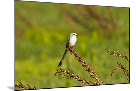 Minnesota, Mendota Heights, Scissor Tailed Flycatcher Perched-Bernard Friel-Mounted Photographic Print