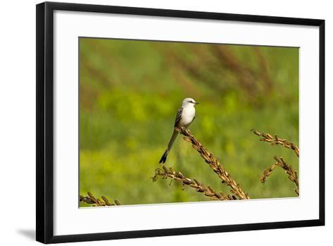 Minnesota, Mendota Heights, Scissor Tailed Flycatcher Perched-Bernard Friel-Framed Art Print
