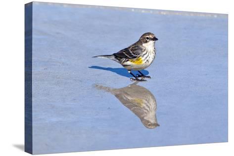 Minnesota, Mendota Heights, Yellow Rumped Warbler Perched-Bernard Friel-Stretched Canvas Print