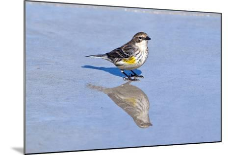 Minnesota, Mendota Heights, Yellow Rumped Warbler Perched-Bernard Friel-Mounted Photographic Print