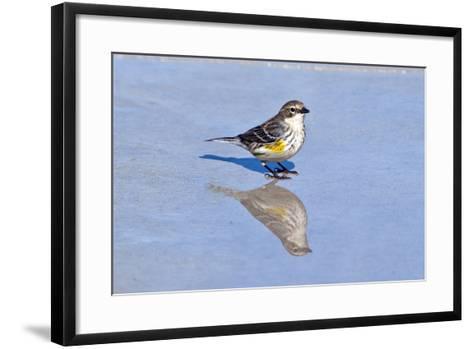 Minnesota, Mendota Heights, Yellow Rumped Warbler Perched-Bernard Friel-Framed Art Print