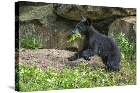 Minnesota, Sandstone, Black Bear Cub with Leaf in Mouth-Rona Schwarz-Stretched Canvas Print