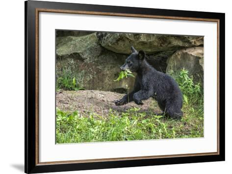 Minnesota, Sandstone, Black Bear Cub with Leaf in Mouth-Rona Schwarz-Framed Art Print