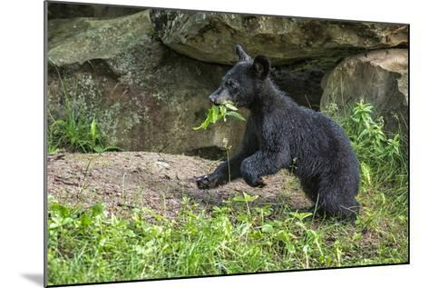 Minnesota, Sandstone, Black Bear Cub with Leaf in Mouth-Rona Schwarz-Mounted Photographic Print