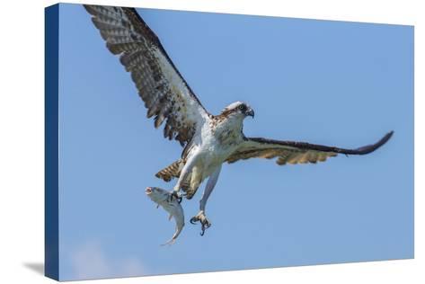Osprey with Saltwater Catfish in Florida Bay, Everglades National Park, Florida-Maresa Pryor-Stretched Canvas Print