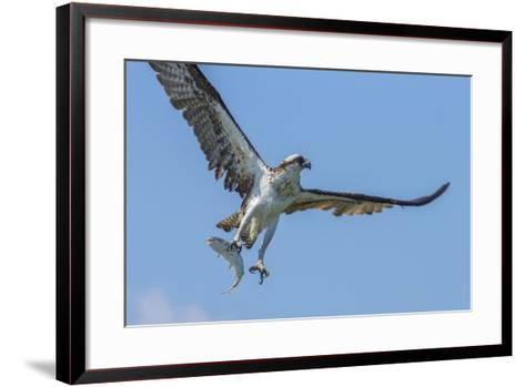Osprey with Saltwater Catfish in Florida Bay, Everglades National Park, Florida-Maresa Pryor-Framed Art Print