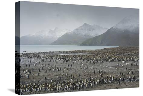 South Georgia. Saint Andrews. View of the Huge King Penguin Colony-Inger Hogstrom-Stretched Canvas Print