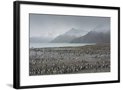 South Georgia. Saint Andrews. View of the Huge King Penguin Colony-Inger Hogstrom-Framed Art Print