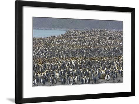 South Georgia. Saint Andrews. View of the Huge King Penguin Colony-Inger Hogstrom-Framed Art Print