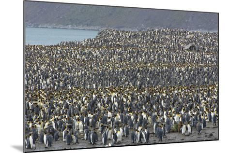 South Georgia. Saint Andrews. View of the Huge King Penguin Colony-Inger Hogstrom-Mounted Photographic Print