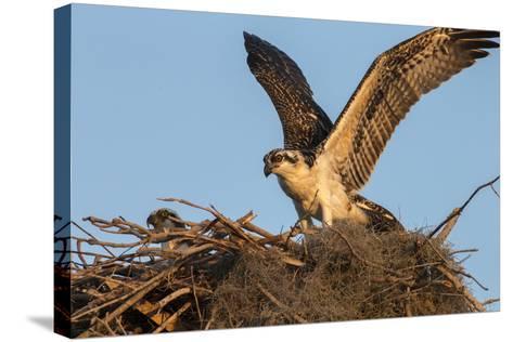 Juvenile Osprey Testing Wings, Flamingo, Everglades National Park, Florida-Maresa Pryor-Stretched Canvas Print