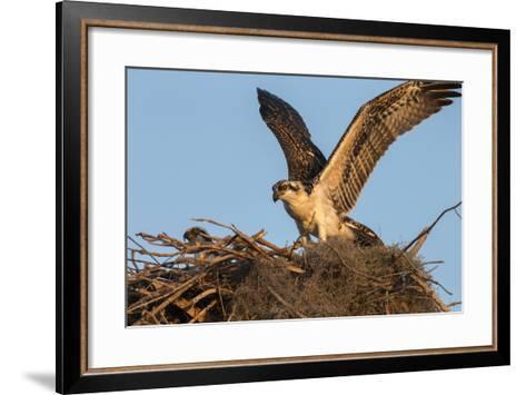 Juvenile Osprey Testing Wings, Flamingo, Everglades National Park, Florida-Maresa Pryor-Framed Art Print
