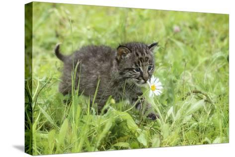 Minnesota, Sandstone, Bobcat Kitten in Spring Grasses with Daisy-Rona Schwarz-Stretched Canvas Print