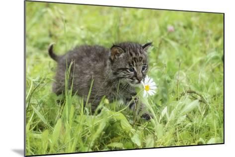 Minnesota, Sandstone, Bobcat Kitten in Spring Grasses with Daisy-Rona Schwarz-Mounted Photographic Print