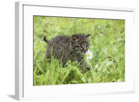 Minnesota, Sandstone, Bobcat Kitten in Spring Grasses with Daisy-Rona Schwarz-Framed Art Print