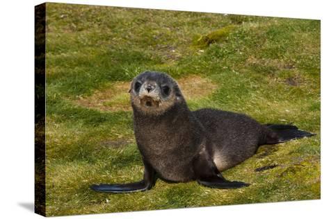 South Georgia. Salisbury Plain. Antarctic Fur Seal Pup-Inger Hogstrom-Stretched Canvas Print
