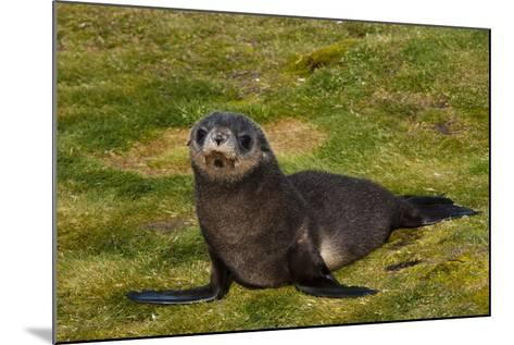 South Georgia. Salisbury Plain. Antarctic Fur Seal Pup-Inger Hogstrom-Mounted Photographic Print
