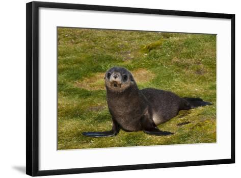 South Georgia. Salisbury Plain. Antarctic Fur Seal Pup-Inger Hogstrom-Framed Art Print