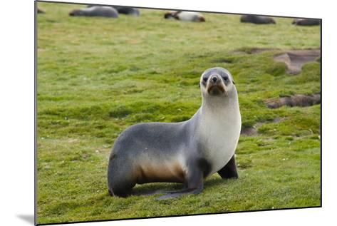 South Georgia. Salisbury Plain. Antarctic Fur Seal Standing-Inger Hogstrom-Mounted Photographic Print