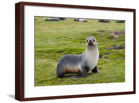 South Georgia. Salisbury Plain. Antarctic Fur Seal Standing-Inger Hogstrom-Framed Art Print