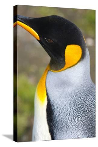 South Georgia. Salisbury Plain. King Penguin, Aptenodytes Patagonicus-Inger Hogstrom-Stretched Canvas Print